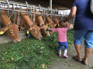 vacche rosse a caseifici aperti