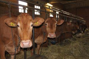 azienda vacche rosse serri miselli i capi