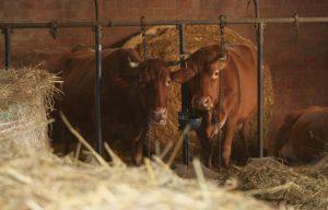le vacche rosse del parmigiano reggiano