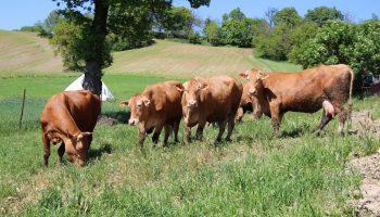 vacche-rosse-pascolo
